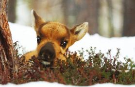 Kraljestvo severnega jelenčka (sinhronizirano)